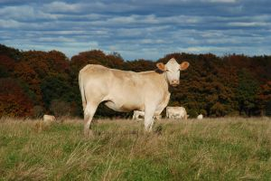 cow-autumn-pasture